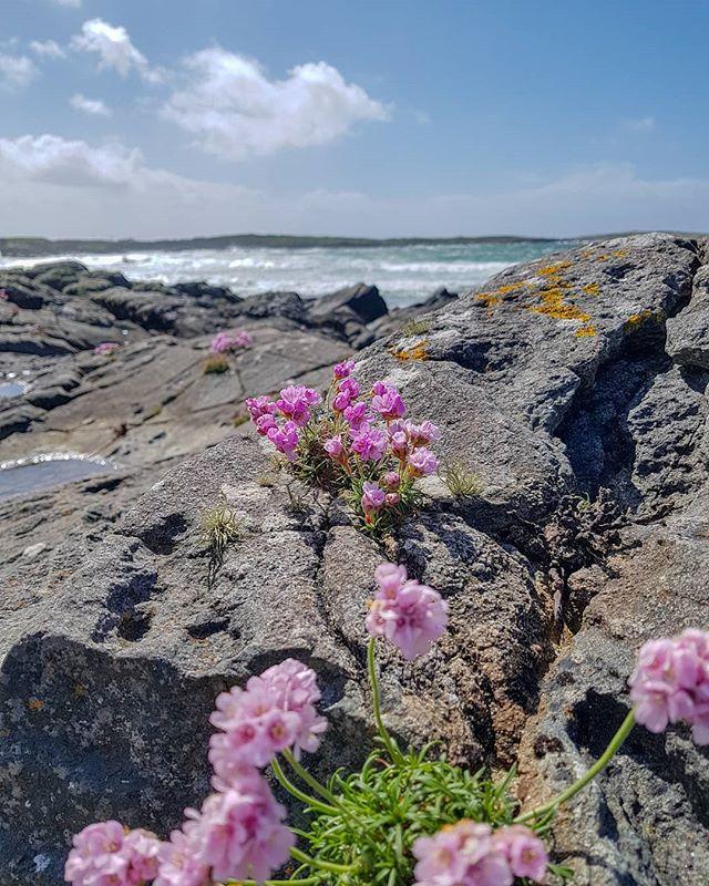 Sea Pinks and Surf . . . . . #surf #surewhynot #falsebay #seapinks #seascape #theinntothewest #discoverireland #galway #lovegalway #thisisgalway #ireland #irelande #irland #irelanddaily #clifden #wildatlanticway #connemara #ballyconneely #getoutside #greatoutdoors #mylifeoutside #nofilter #instamoment #travelireland #adventuretravel #travelauthentic #exploremore #letsgosomewhere #thehappynow #freshair