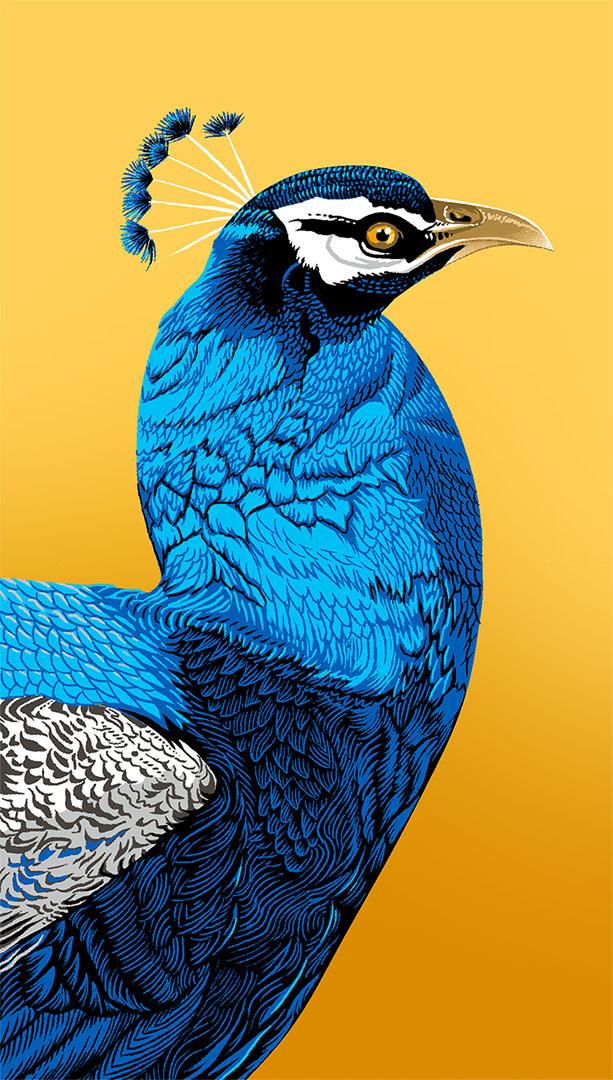Peacock_vertical.jpg