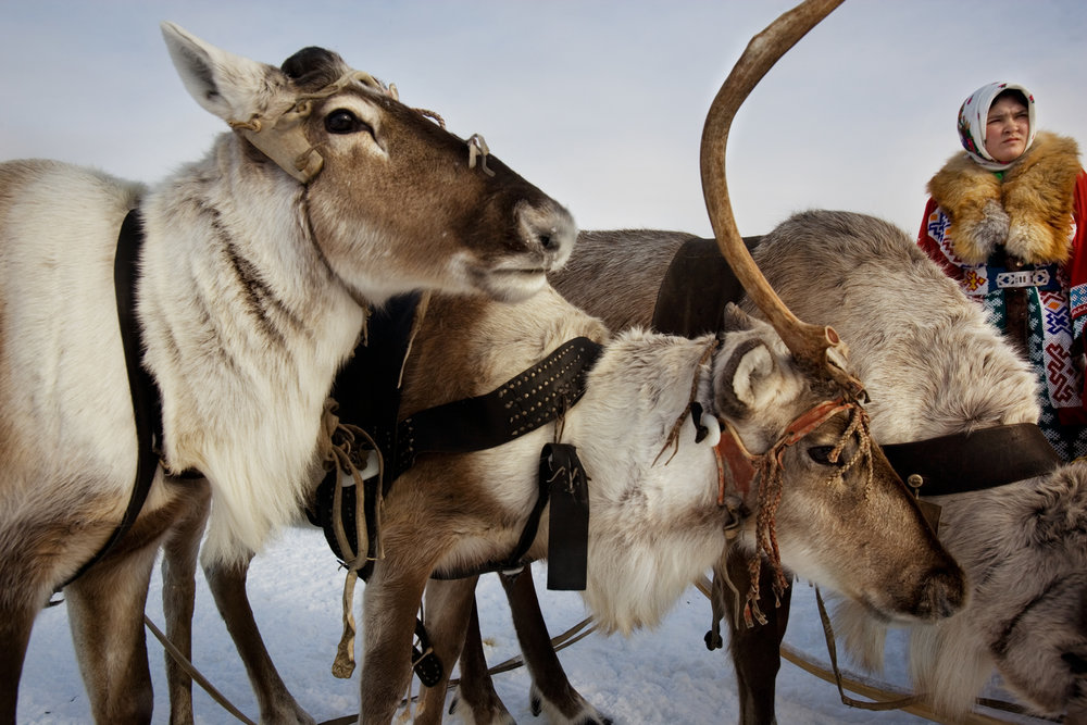 Traditionally, reindeer provided food, clothes, shelter and transportation for most indigenous groups in the Khanty-Mansiysk region.  Near Saranpaul, Russia