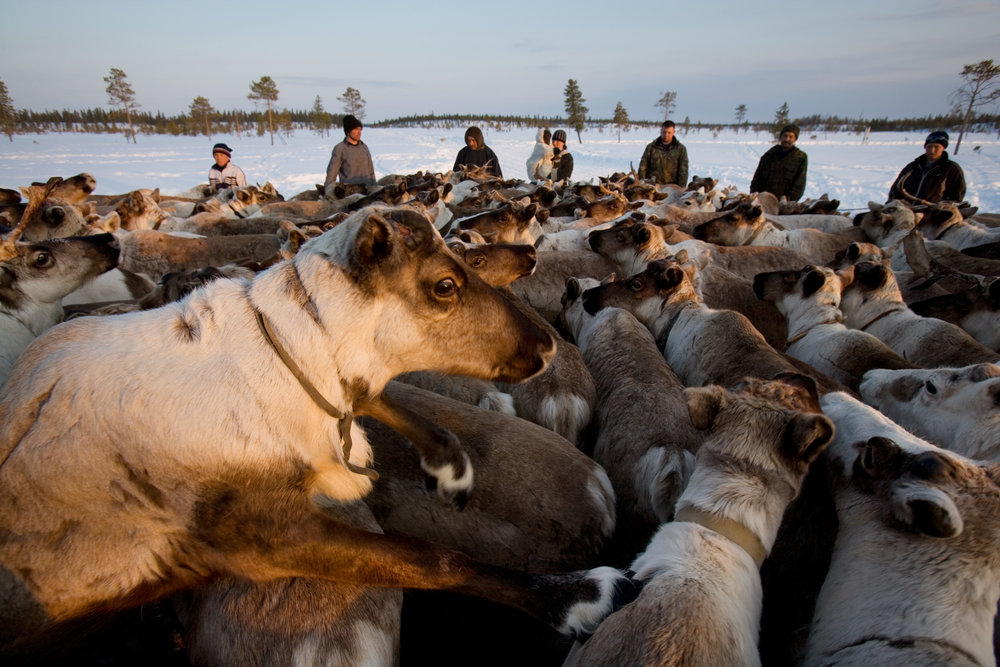 Near Saranpaul, six brigades of reindeer herders with multi-ethnic backgrounds breed and guard up to 3,000 heads.  Khanty-Mansiysk Region, Russia