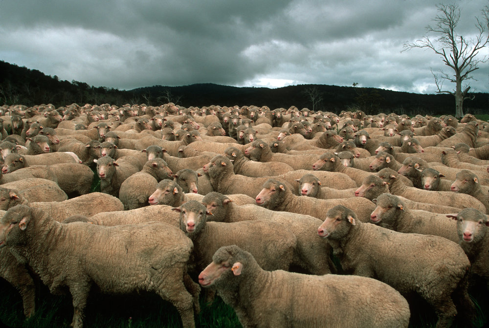 The Saxon sheep breed of the 'Trefuses Farm' produces some of the world's finest Merino wool.  Ross