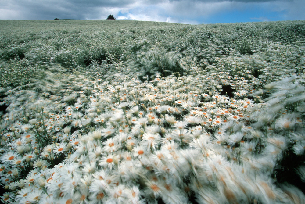 In the agriculture northwest of Tasmania, huge blooming Pyrethra fields carpet hillsides. The pyrethrum or Tanacetum cinerariaefolium is a simple daisy grown for its natural insecticidal oil.  Ulverstone