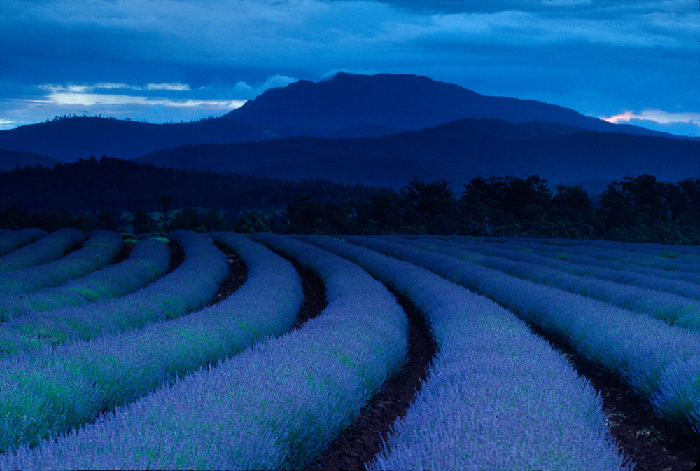 Night settles over the lavender fields in northeast Tasmania.  Nabowla