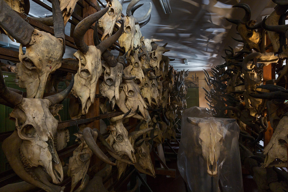 Herd animals, even in death, skeletons and skulls of domestic cattle line hallways behind the scenes in the museum.  Berlin, Germany.
