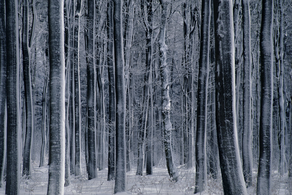Snowy Beech Trees, Hoherodskopf, Germany 1998