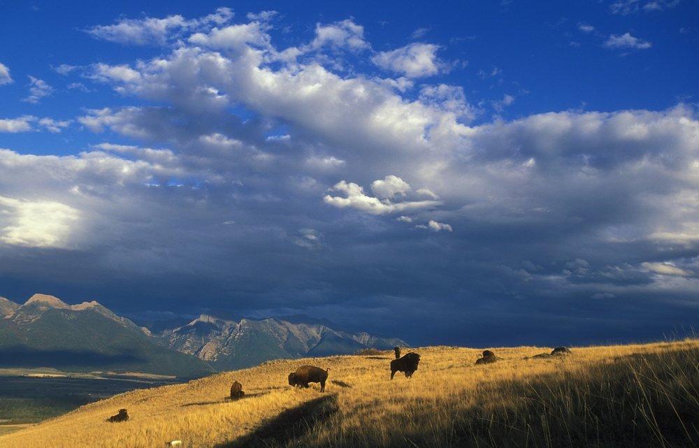 buffalo-1665331_1280-Bozeman.jpg