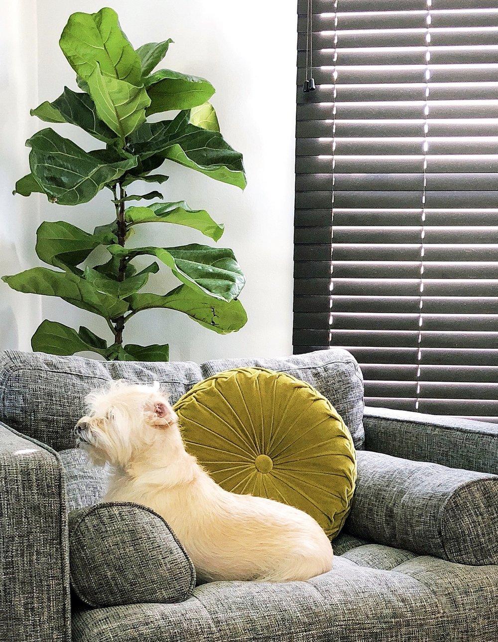 Fiddle Leaf Fig Plant Care Tips — Ashley Hosmer