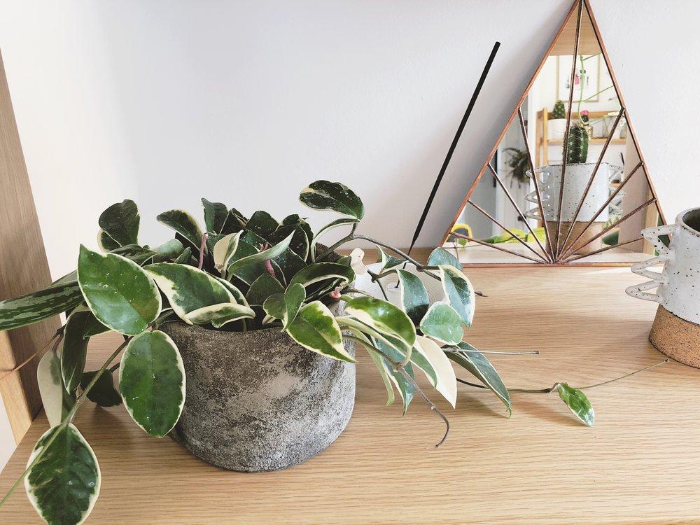 Hoya Carnosa Variegata Tricolor Plant Care Tips Ashley Hosmer