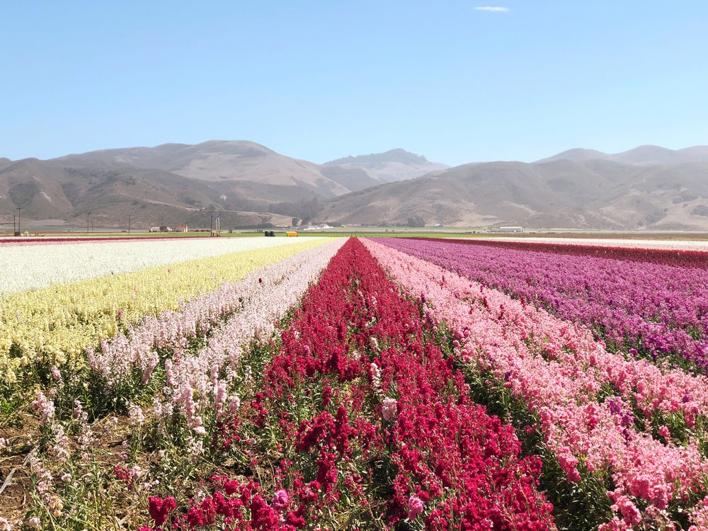 lompoc-flower-fields.JPG