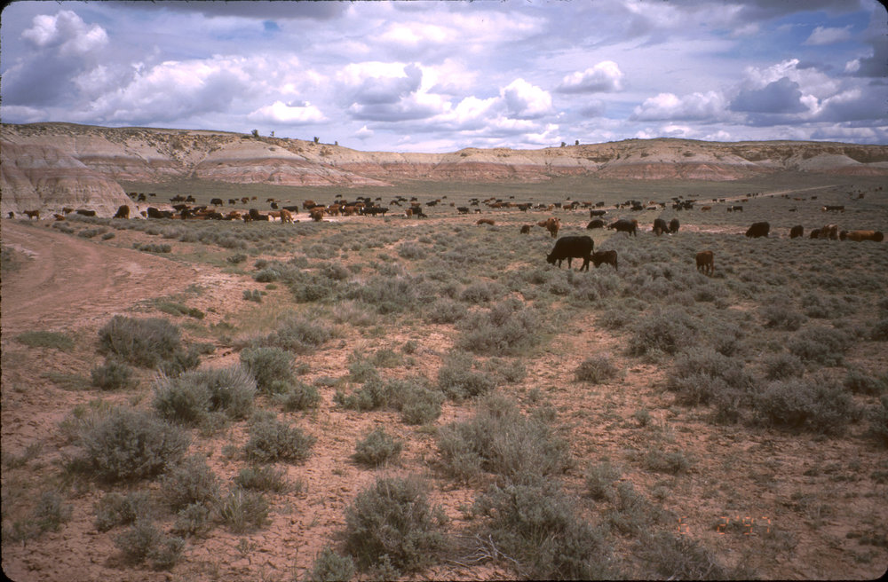 Cows on the Range.jpg
