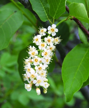 tree_chokecherry.jpg