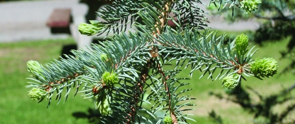 tree_coloradobluespruce.jpg