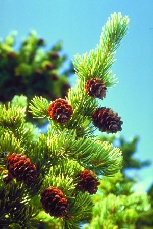tree_engelmannspruce.jpg