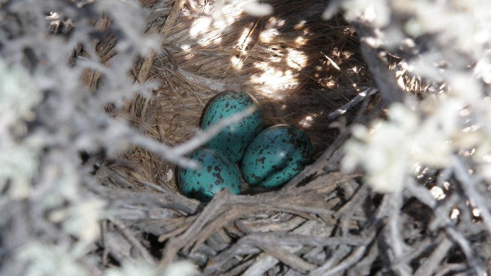 Sagebrush Songbird_nest2_7.2010.JPG