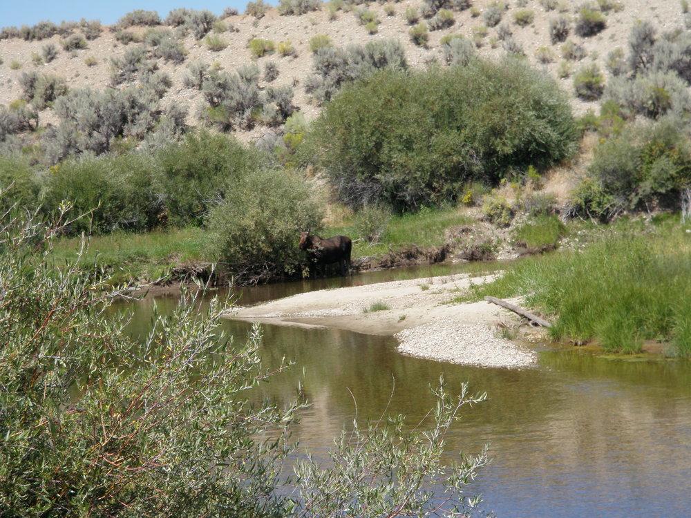 Moose 1 Bull Pasture_EastforkLivestock.JPG