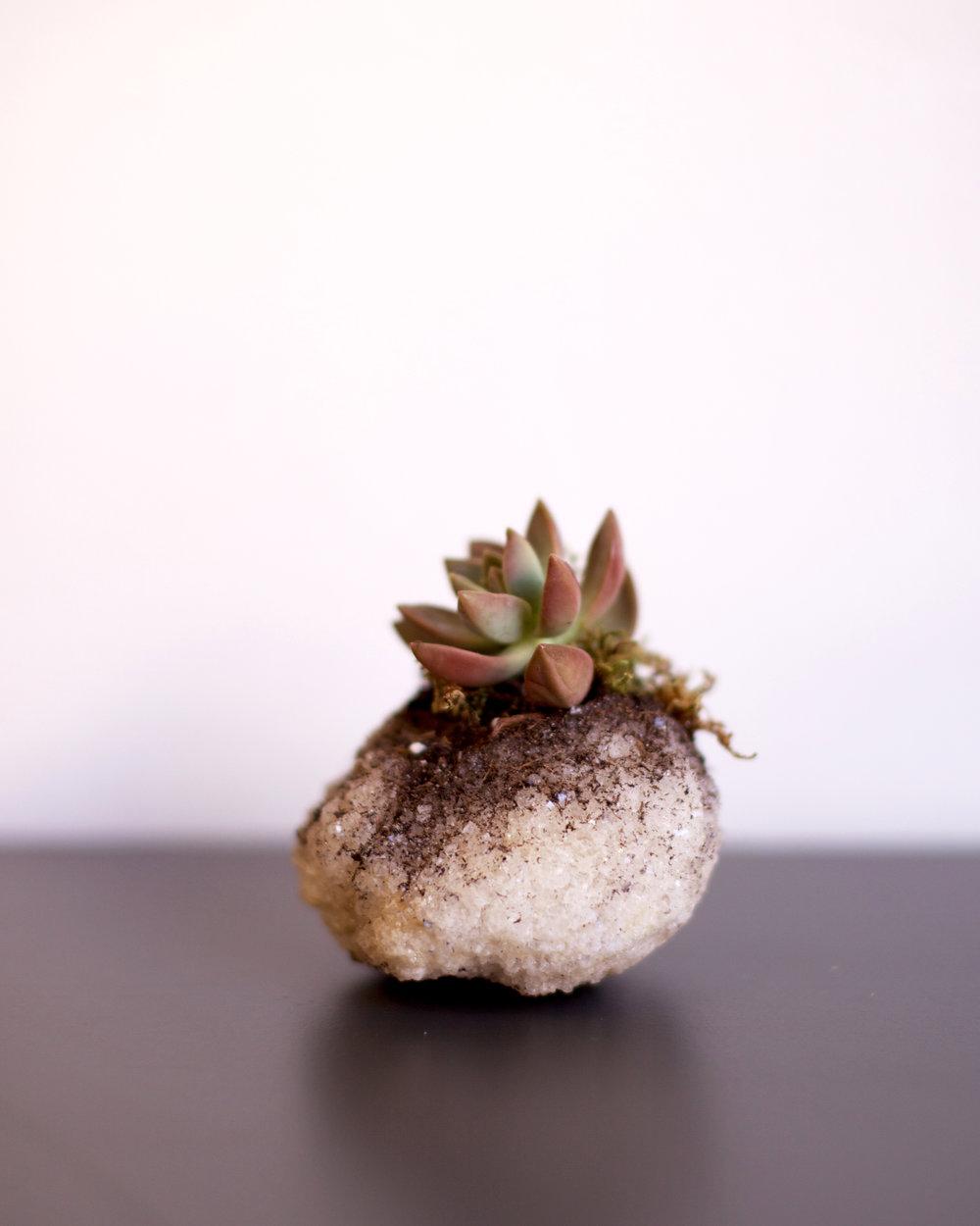 saltsucculent (1 of 1).jpg