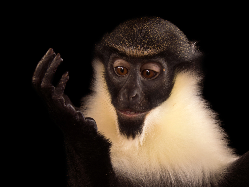 A young, female Diana monkey (Cercopithecus diana) at the Omaha Zoo.