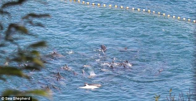 albino dolphin5