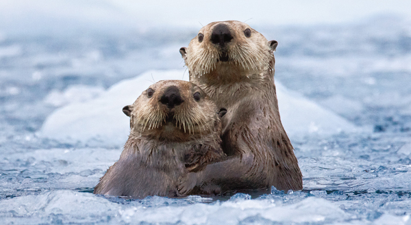Alaskan Otter Couple