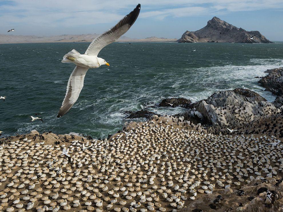 gulls-mercury-island-namibia_85946_990x742