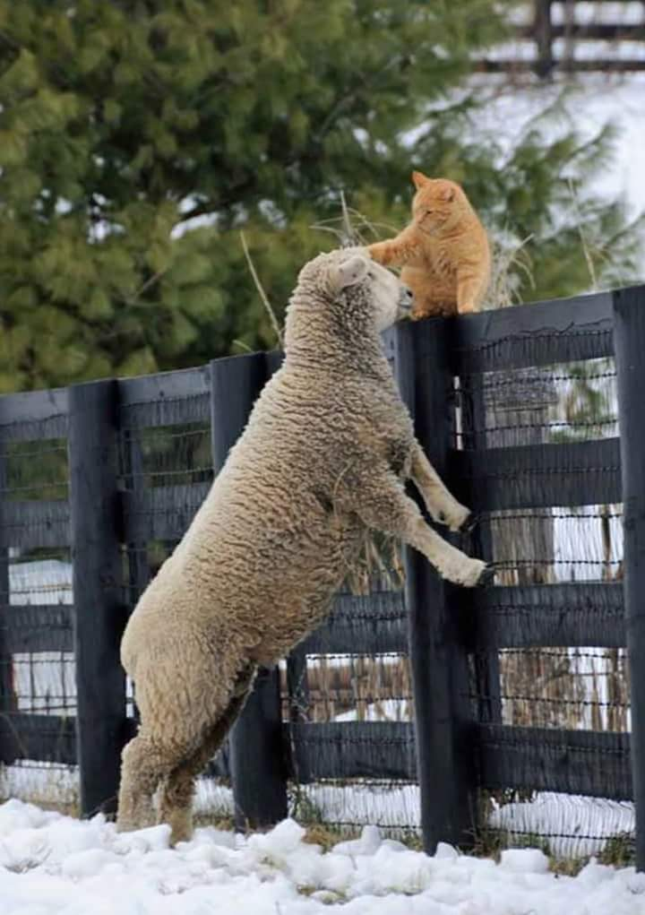 lamb-and-a-cat