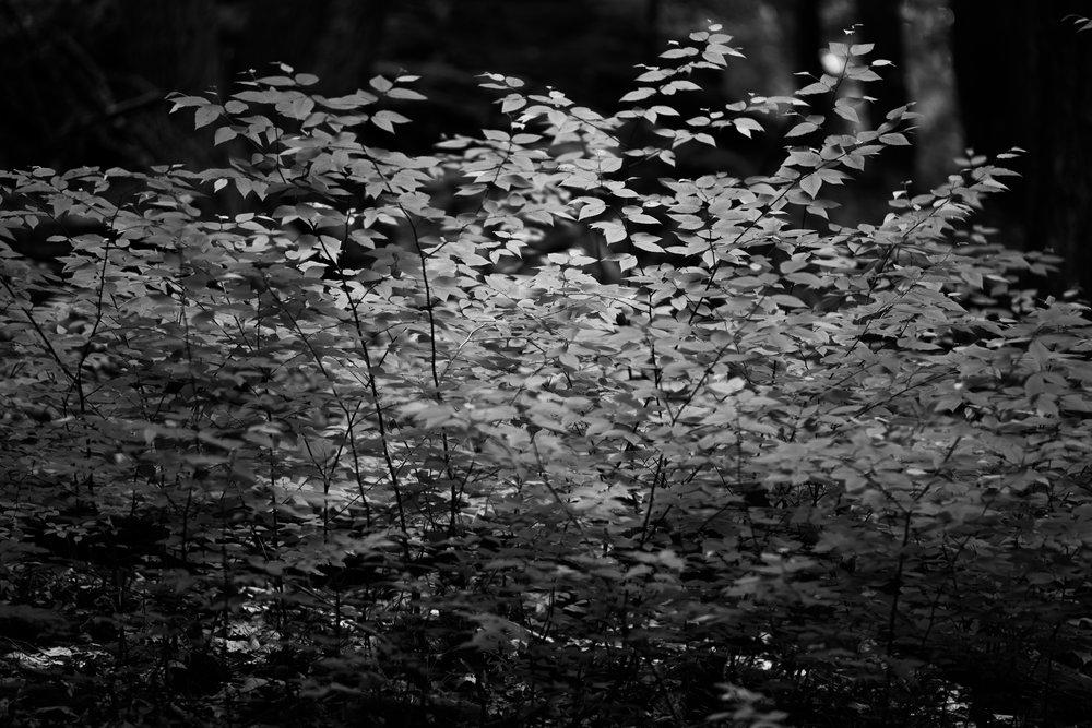 backlit_beech_leaves.jpg
