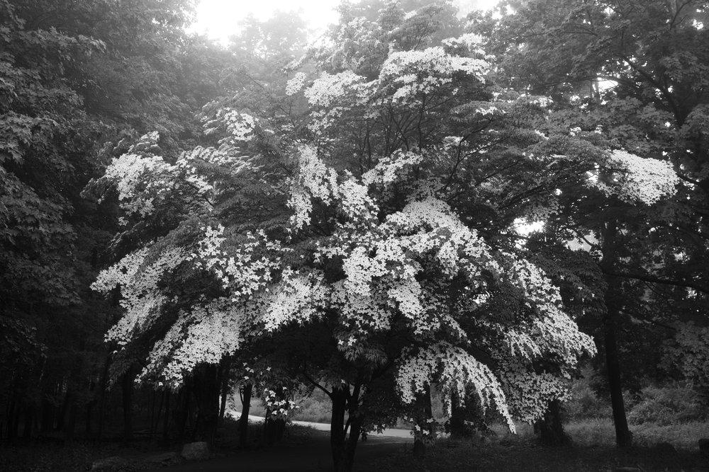 dogwood_in_bloom.jpg
