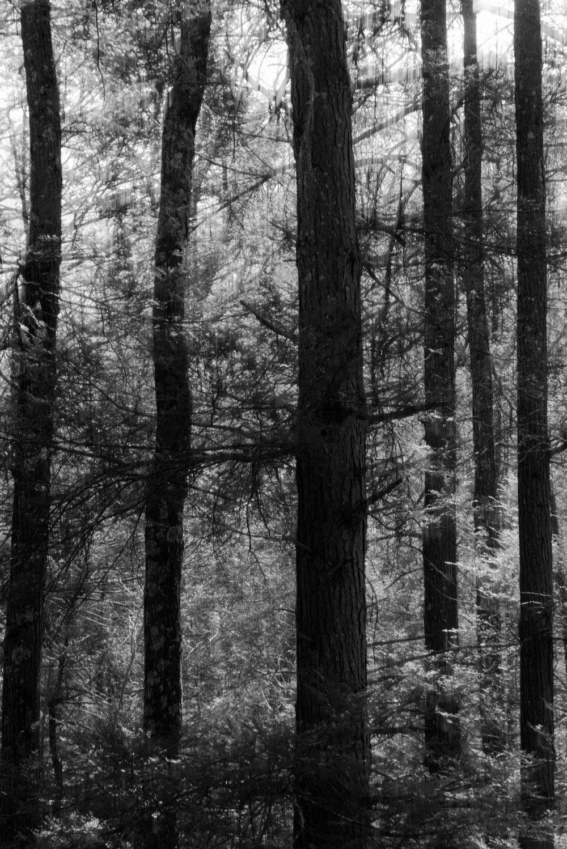 hemlock_trees.jpg