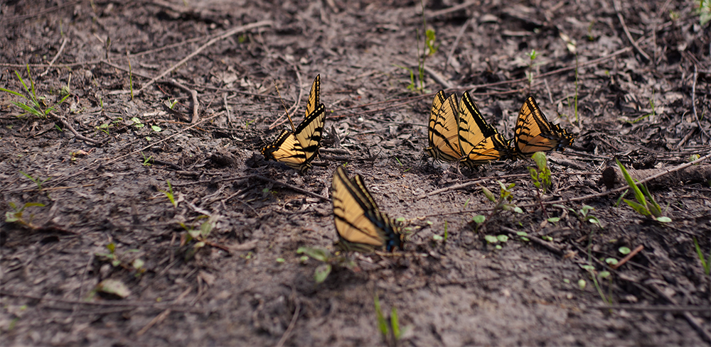 group-of-butterflies.png