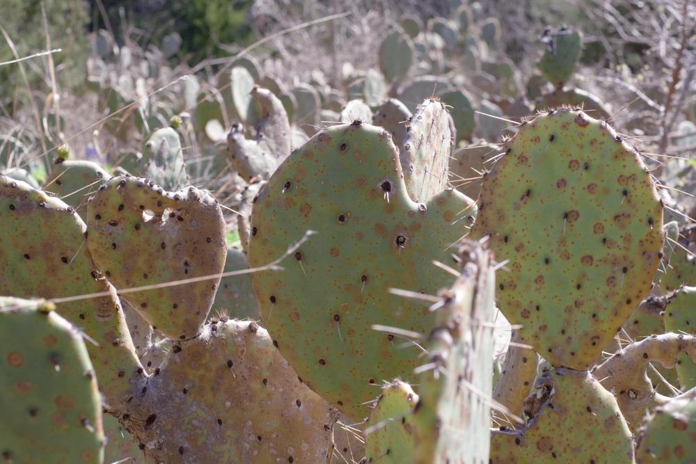wild-cactus.png