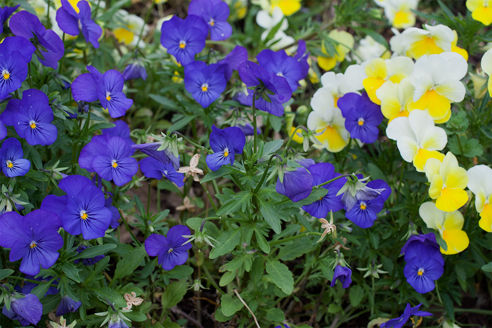 purple&yellow-pansies.png