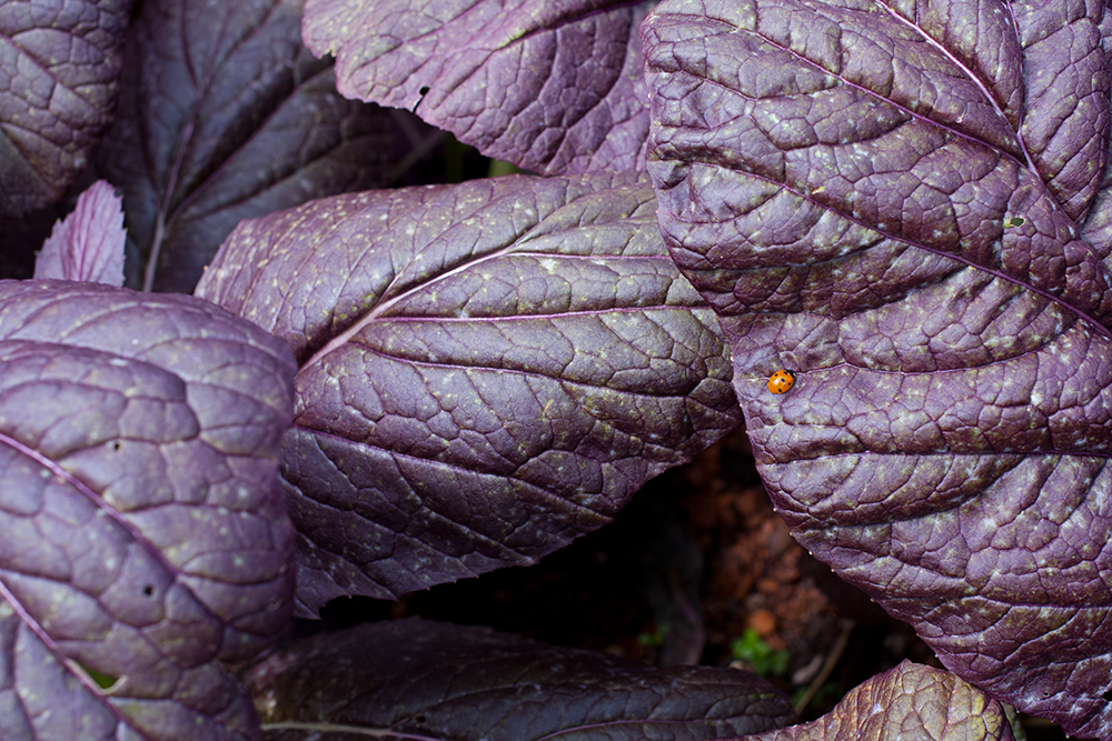 ladybug-on-purple-leaves.png
