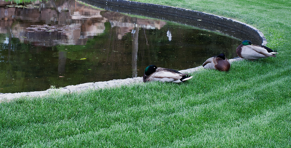3-male-ducks.png