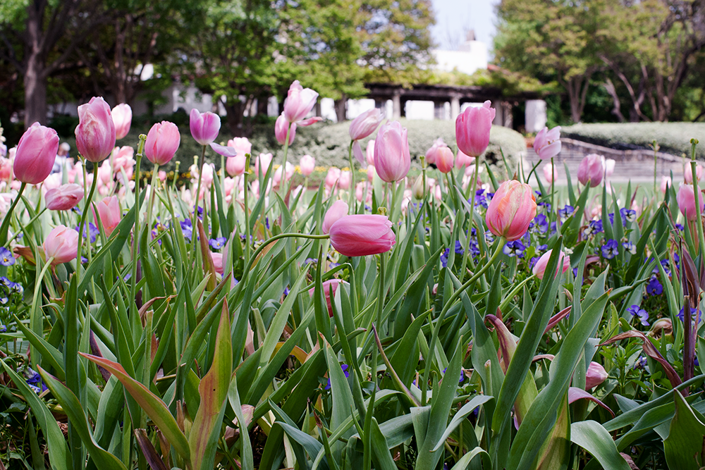 pink-tulips.png