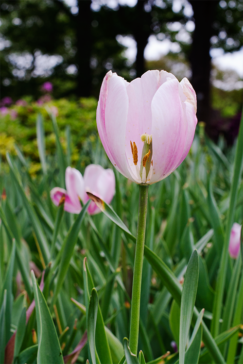 pink-tulip2.png