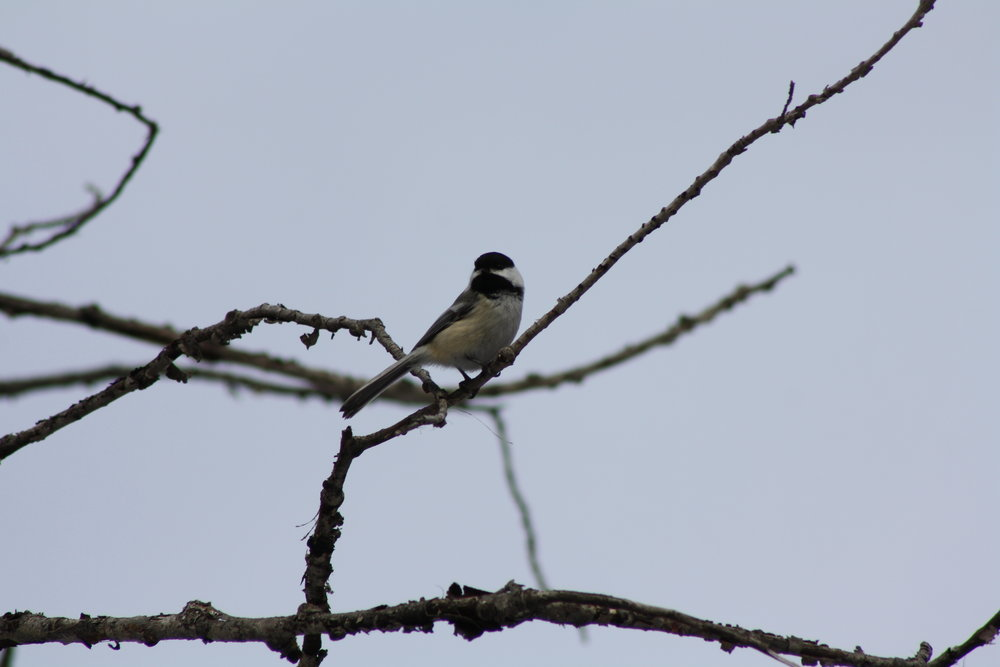 2B - Black-Capped Chickadee Courtesy of Corey Scobie.jpg