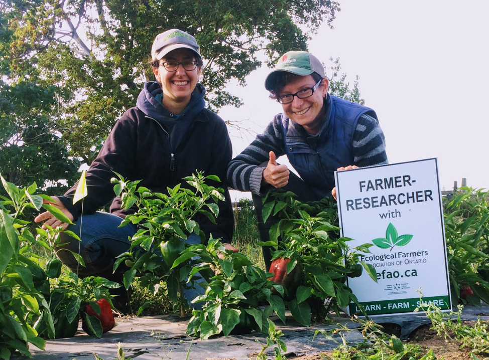 Rebecca Ivanoff and Nicola Inglefield in their pepper patch. Rebecca, along with four other growers in Ontario, is part of the Southern Ontario Pepper Breeding Project. Rebecca and Nicola conducted a trial in 2017 comparing two methods for cabbage seed production. Both projects are in cooperation with EFAO's Farmer-led Research Program.