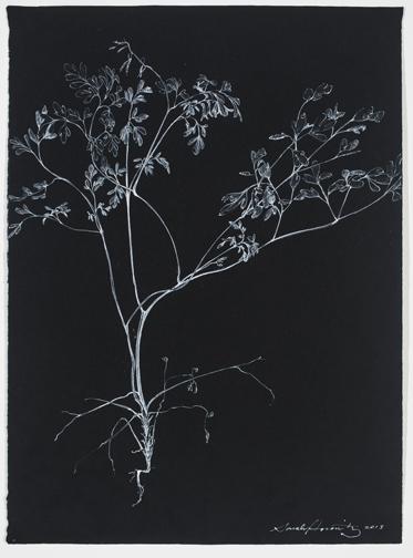 CorydalisLutea17.75x13.jpg