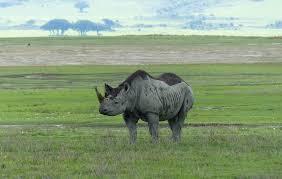 Ngorongoro Rhino Tanzania Horizon Safaris