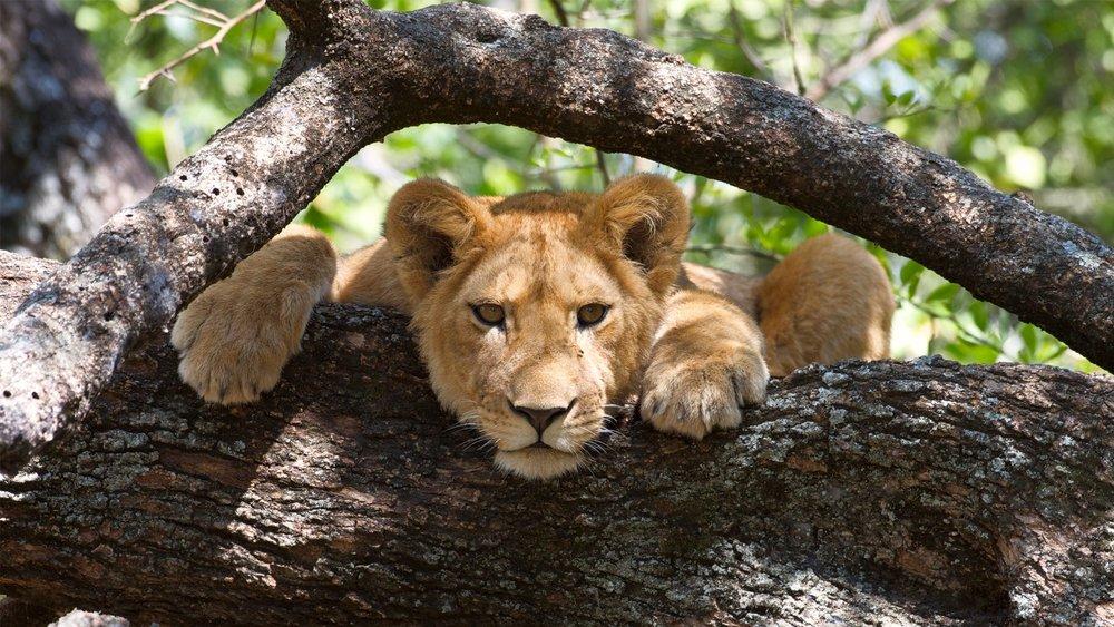 Lion-in-a-tree-in-Lake-Manyara-National-Park Tanzania Horizon Safaris  .jpg