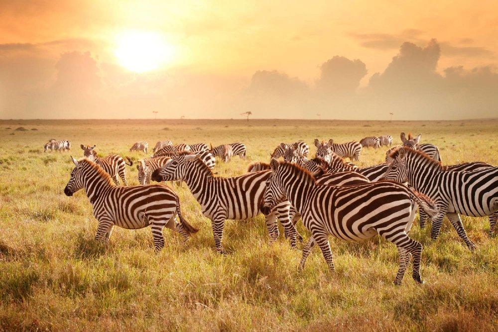 Serengeti Zebra Tanzania Horizon Safaris.jpg