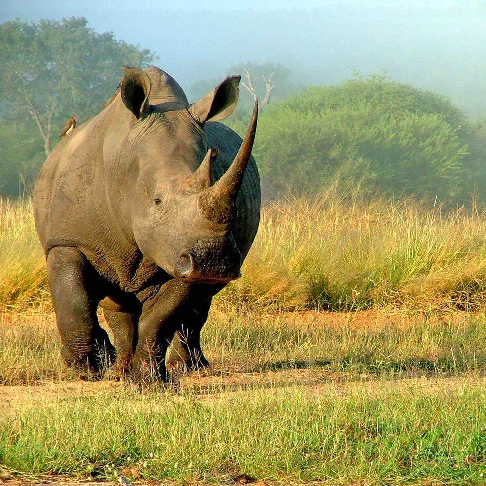 Serengeti Rhino Tanzania Horizon Safaris.jpg