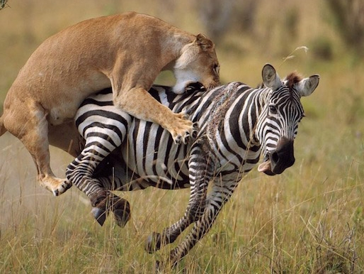 Lion attacking Zebra Tanzania Horizon Safaris.jpg