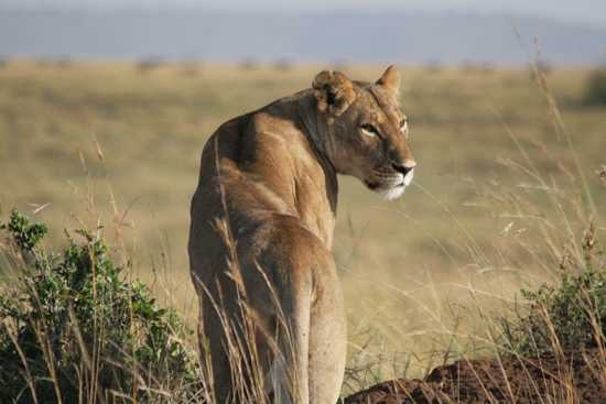 Lion Tanzania Horizon Safaris3.jpg
