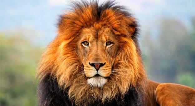 Lion Tanzania Horizon Safaris4.jpg