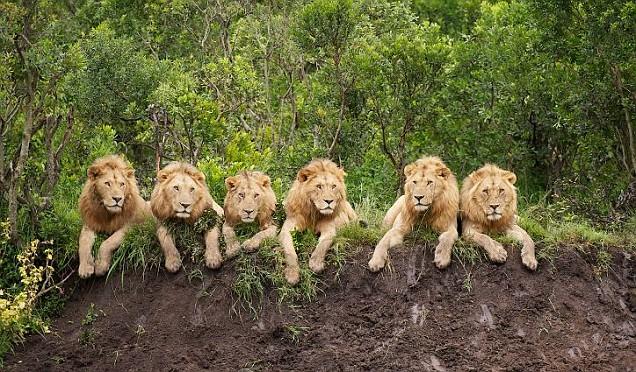 Lions Tanzania Horizon Safaris.jpg