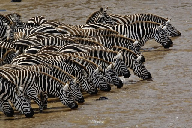 serengeti migration Zebra drinking water Tanzania Horizon Safaris.jpeg