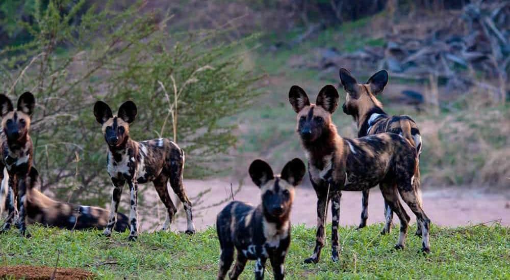 Hyenas-at-Ruhaha-National-Park tanzania horizon safaris.jpg