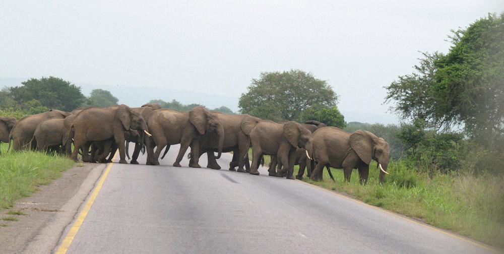 mikumi_national_park_00006_group_of_elephants_crossing_mikumi_highway1.jpg