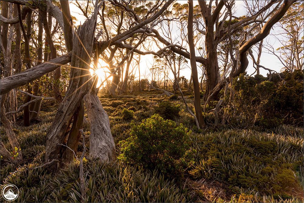 Sonnenaufgang am Mount Field inmitten von Ananasgras